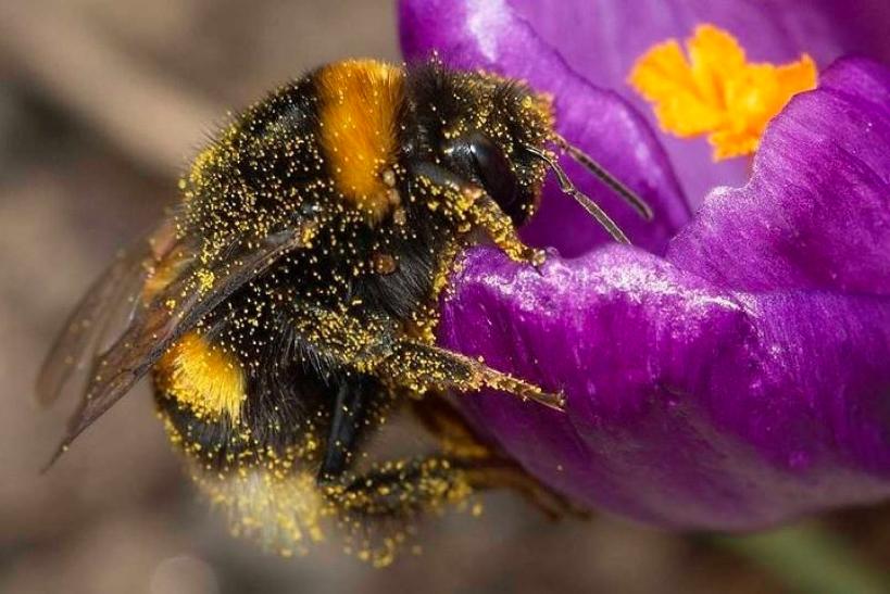 Cambio climático AMENAZA a los abejorros
