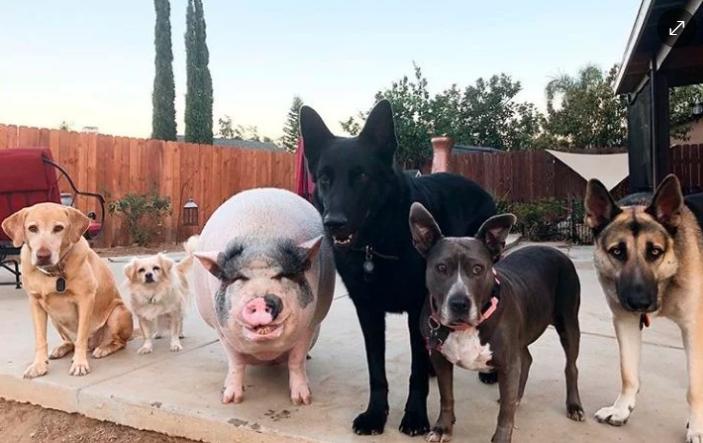 VIRAL: Cerdo es criado con cinco perros, ahora se cree uno de ellos ¡La mejor pandilla!