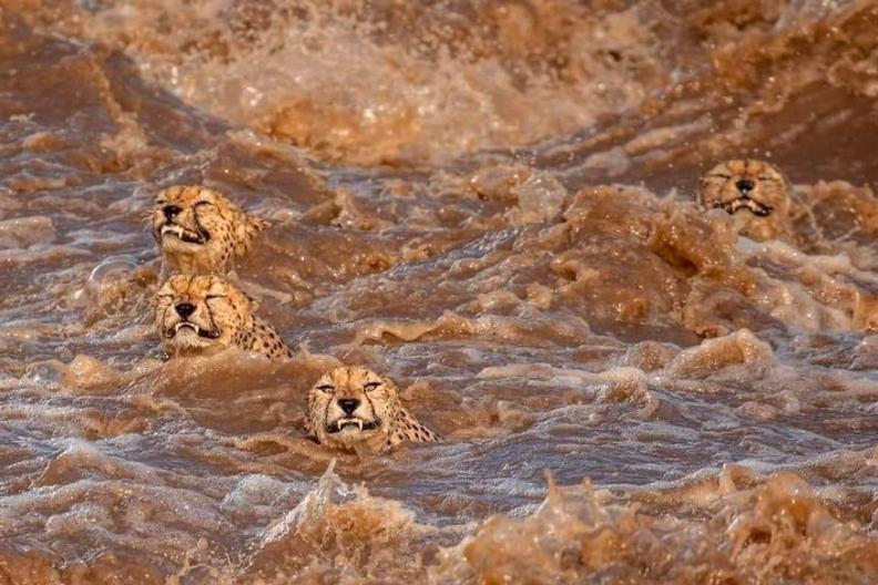 VIRAL: Alucinantes FOTOS de 5 guepardos cruzando un río lleno de cocodrilos