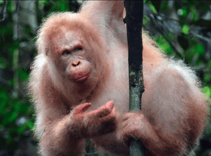 INSÓLITO: El único orangután albino del mundo es visto en la selva de nuevo