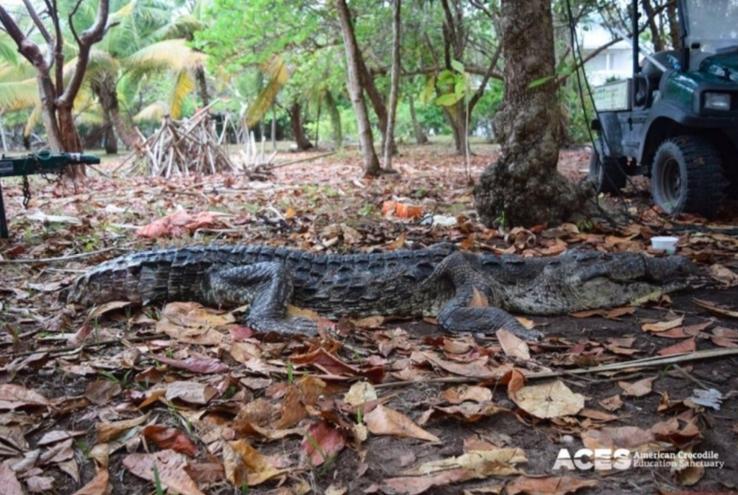 Muere cocodrilo que tragó ¡82 bolsas de plástico!