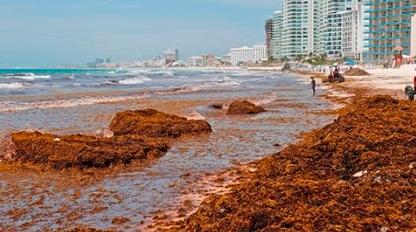 Se dispara el recale de sargazo en al menos 11 playas de Q. Roo