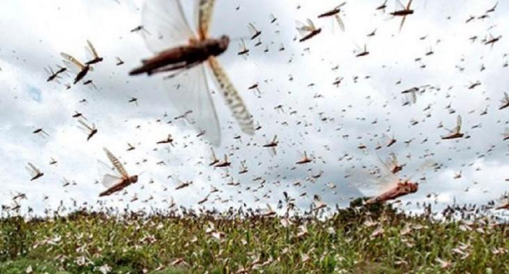 Playa del Carmen: Ganaderos temen a la llegada de plaga de langosta