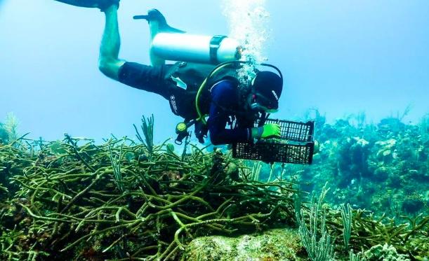 Playa del Carmen: Sembrará el Centro Ecológico de Akumal tres mil corales más