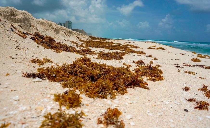 En enero se prevé que haya floración de sargazo en el Caribe mexicano