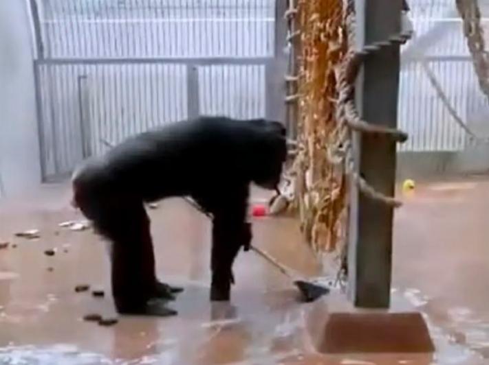 Captan a un chimpancé que limpia su jaula con una escoba