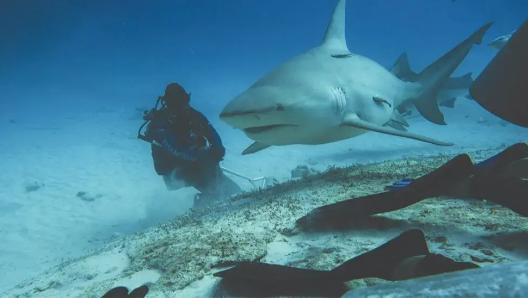 En Playa del Carmen regulan las actividades con el tiburón toro