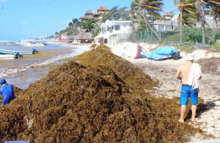 Prevén disminución de la llegada de sargazo en Playa del Carmen