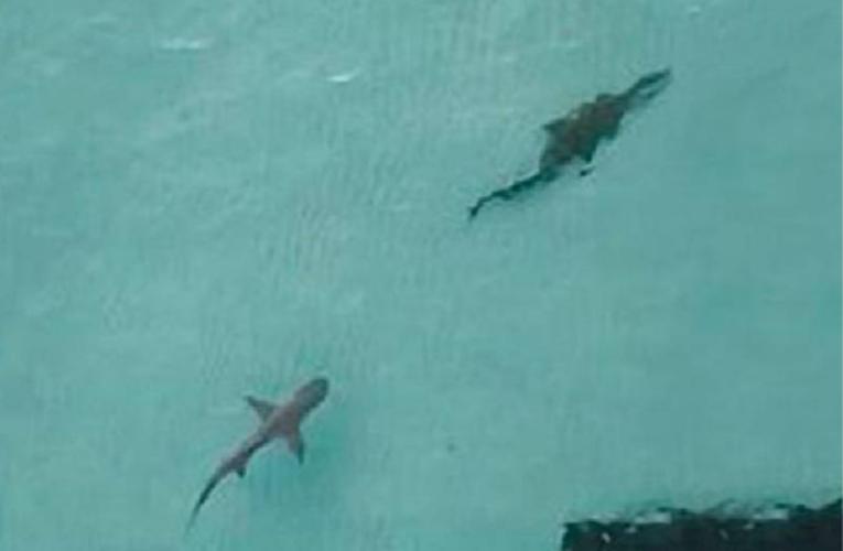 Se hace viral video de un tiburón cazando un cocodrilo