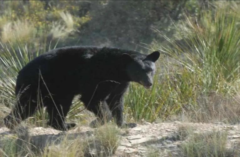 Atacan osos negros a ganado y caballos en Coahuila